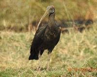 Red Naped Ibis